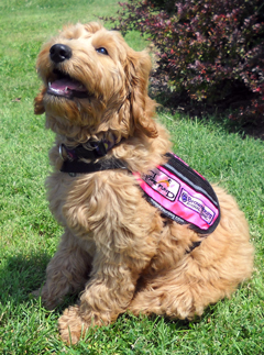 Laney, the Reagan Elementary School service dog